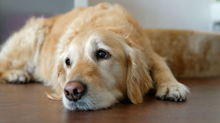 Benadryl For Dogs – Everything A Dog Owner Should Know About Benadryl For Dogs