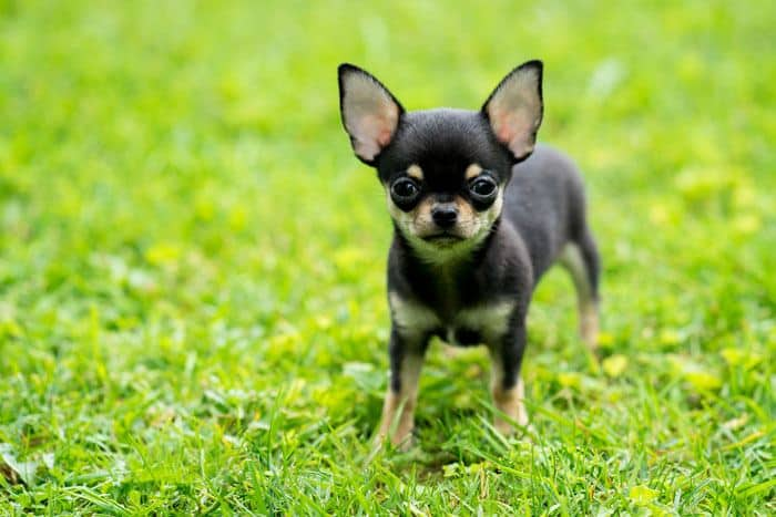 Teacup Chihuahua All You Need To Know