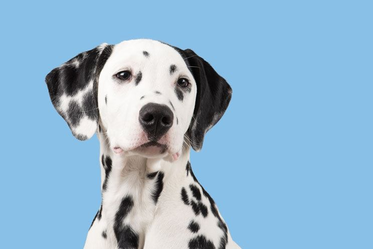 Dalmatian spotted dog breed