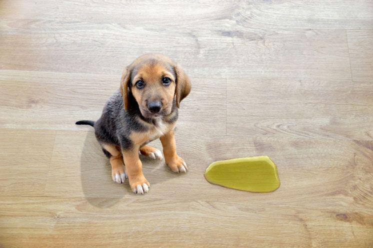 How to Get a Urine Sample From Your Dog