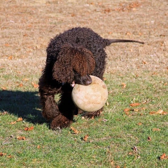 Irish Water Spaniel Dog Playing