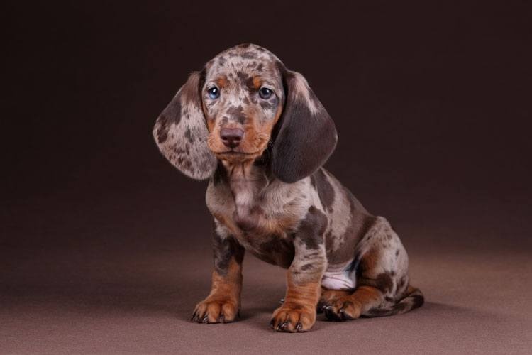 cute spotted dachshund puppy