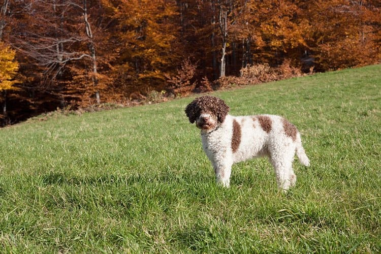 lagotto romagnolo in the woods