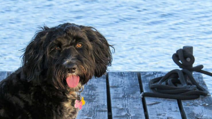 portuguese water dog on a dock
