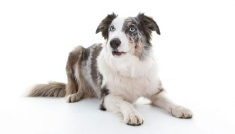 Blue Merle Boder Collie
