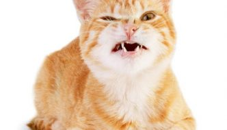 bruxism teeth grinding in cats