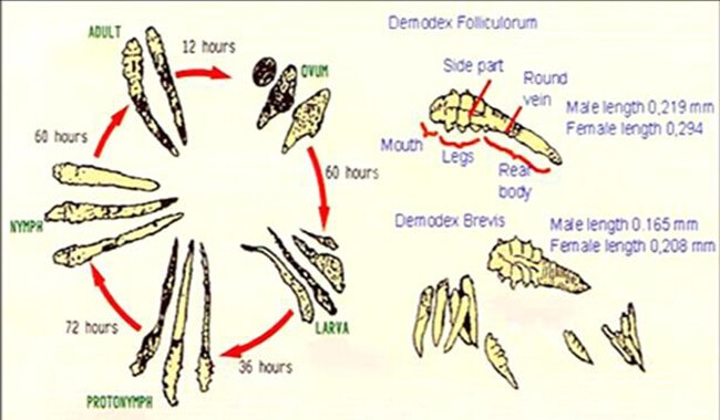 Lifecycle of Demodex canis