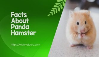 Facts About Panda Hamster