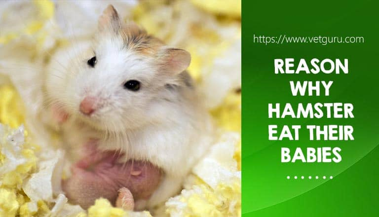 Reason Why Hamster Eat Their Babies