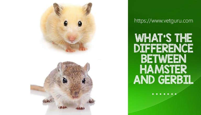 what's the difference between Hamster and Gerbil