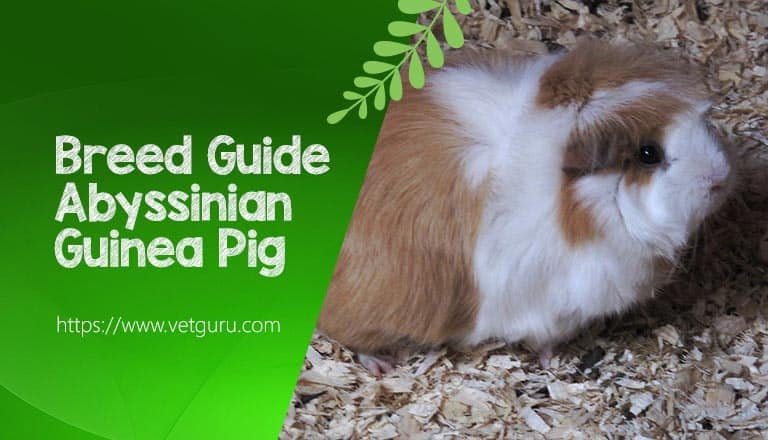 Breed Guide to the Abyssinian Guinea Pig