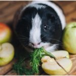 can guinea pigs eat whole apples