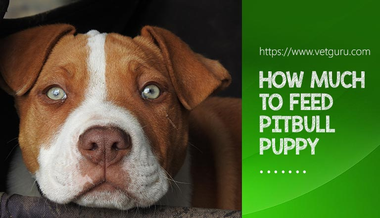 How Much to Feed a Pitbull Puppy: