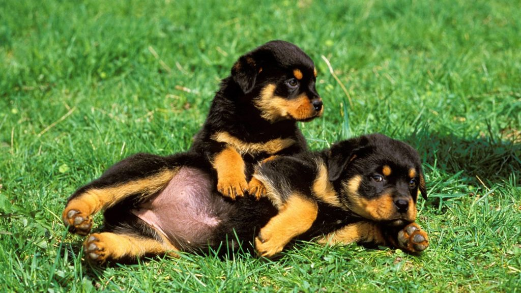 Are Rottweilers born with a tail