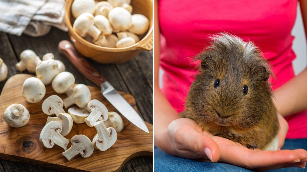 Can Guinea Pigs Eat Mushrooms Everyday