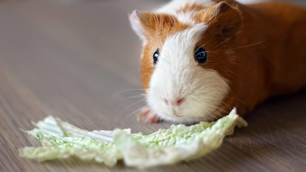 Can cabbage kill guinea pigs