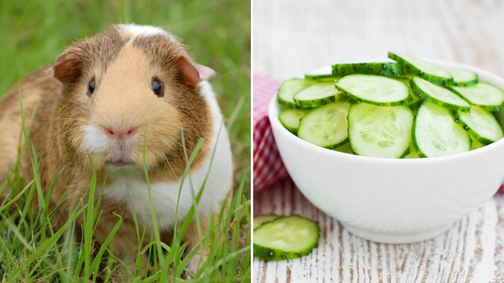 Can guinea pigs eat cucumber everyday