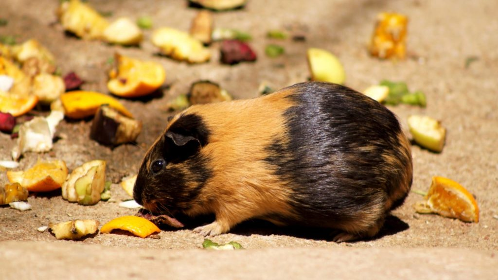 Can guinea pigs eat dried fruit and nuts_ (2)