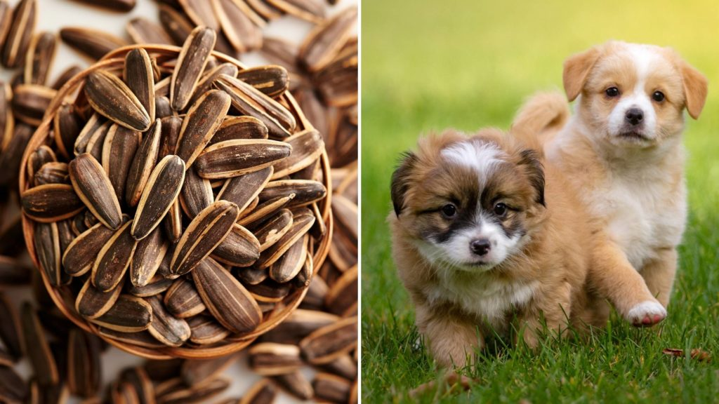 Can puppies eat sunflower seeds too