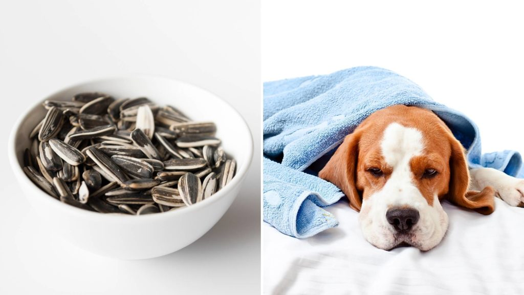 Can sunflower seeds make dogs sick