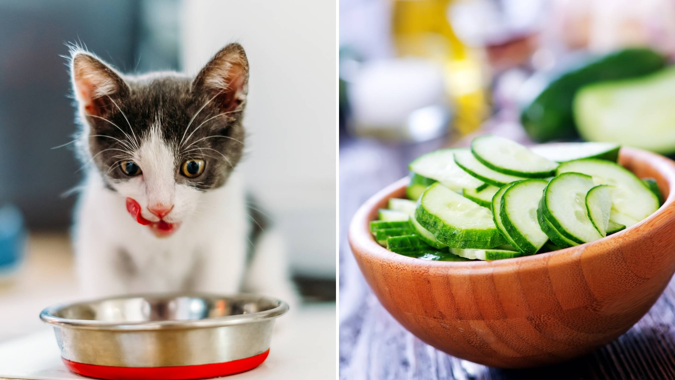 can cats eat cucumbers