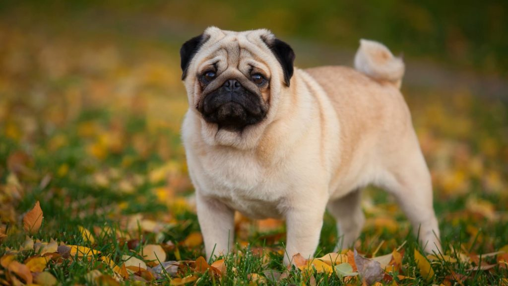 Do pugs need special food