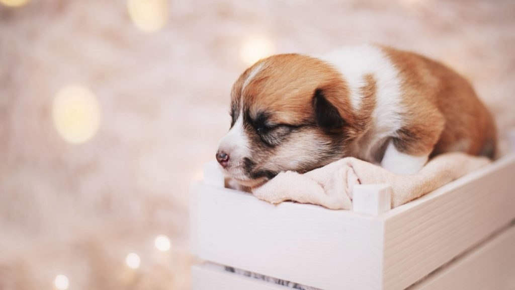 How Much does a Corgi Puppy Cost to Buy and Raise