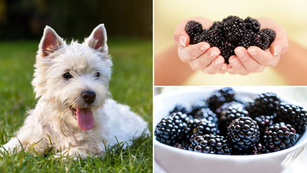 How many blackberries can I give my dog