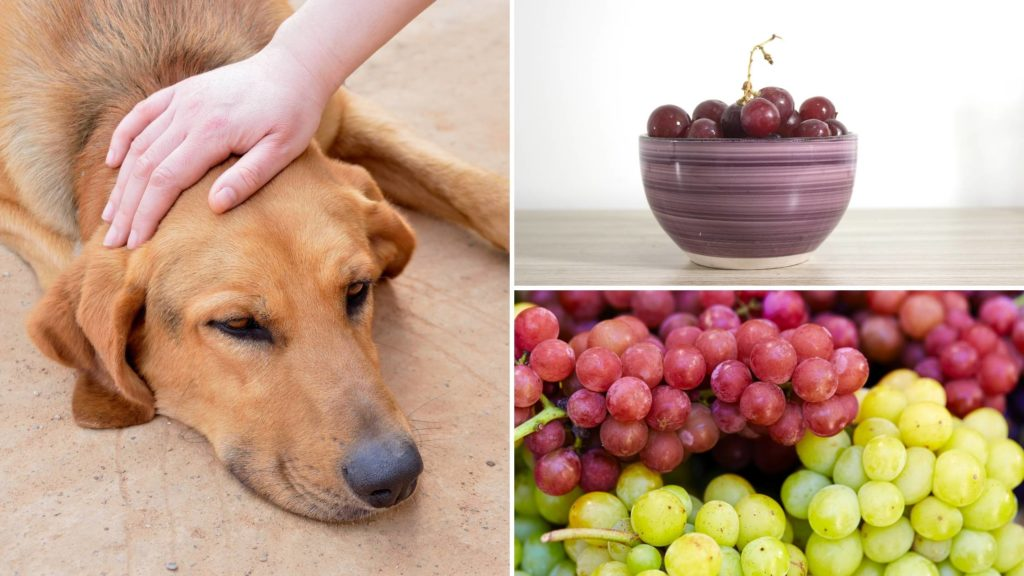 How many dogs die from eating grapes