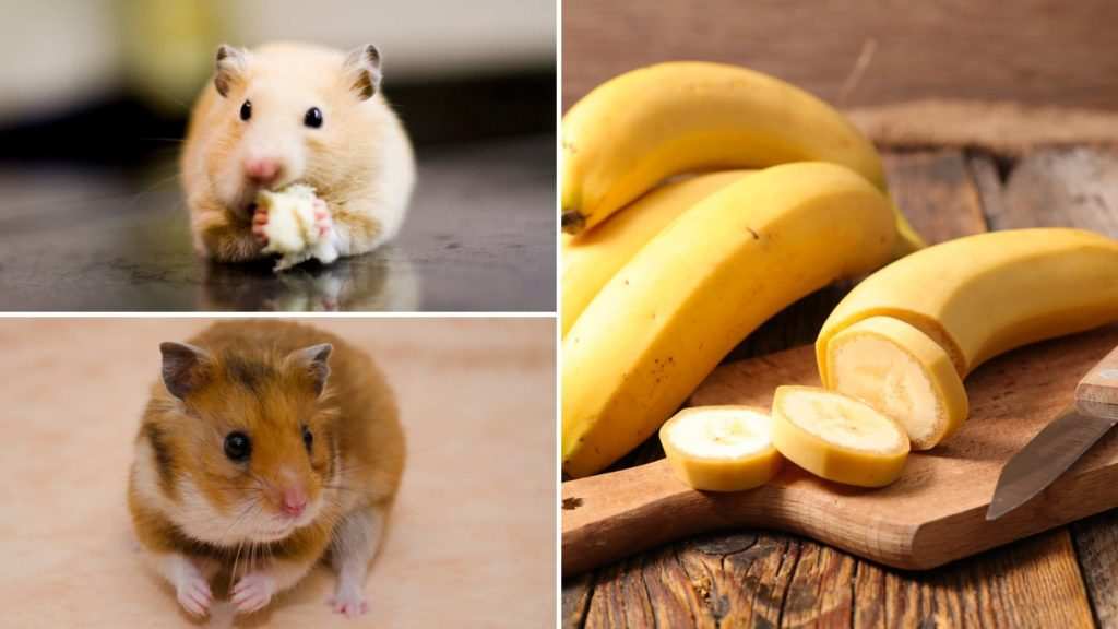 How much banana can a hamster have_