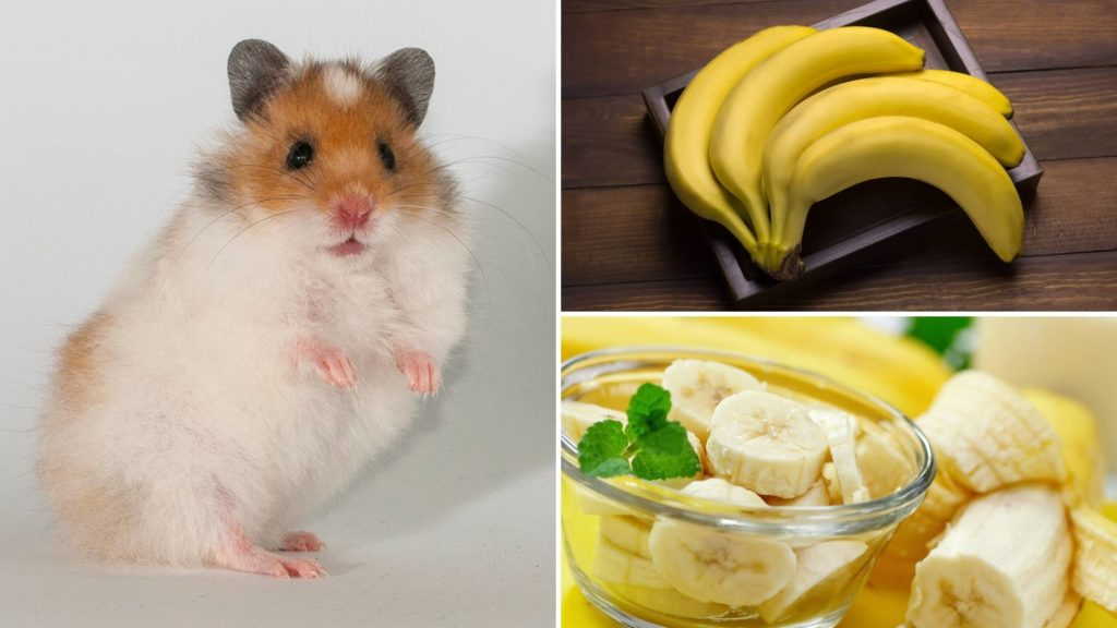 How much banana can a hamster have_ (2)