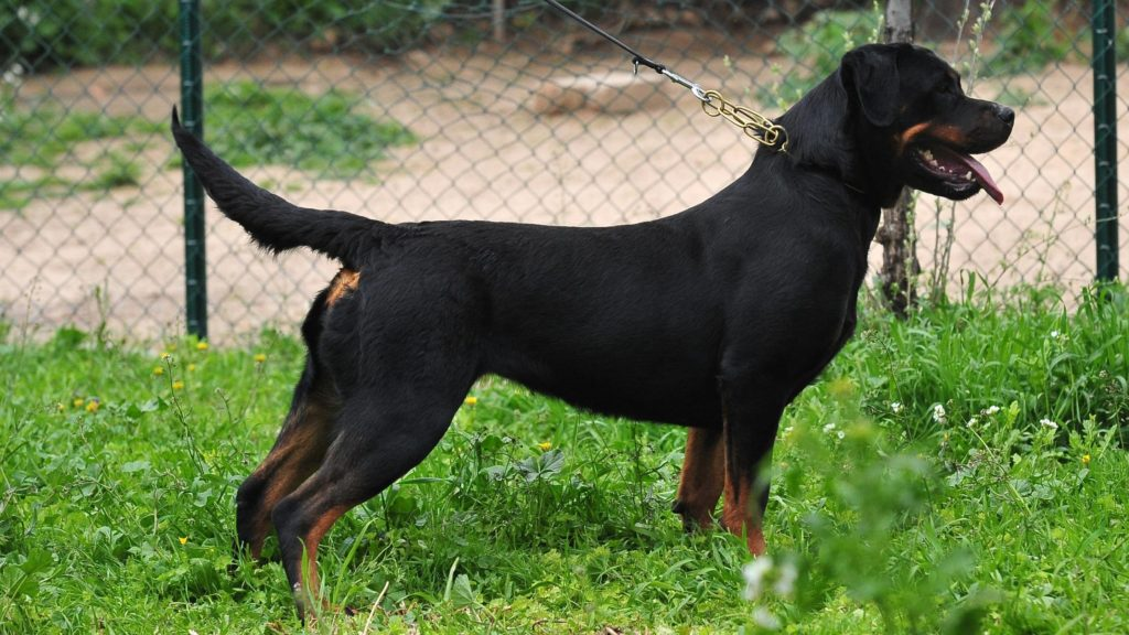 Should Rottweiler's tail be cut