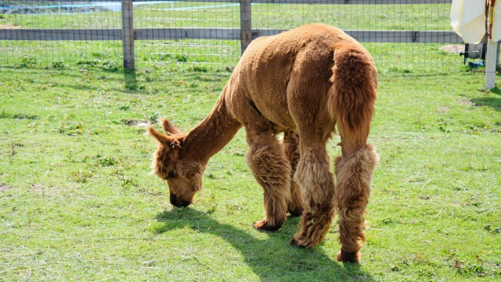 What can alpacas not eat_