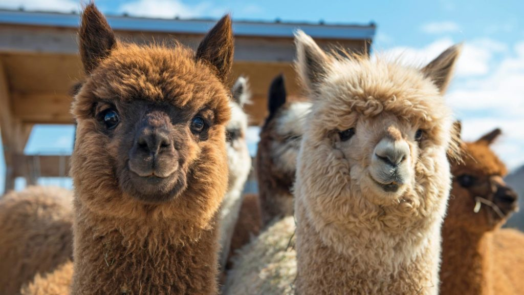 What can alpacas not eat_ (2)