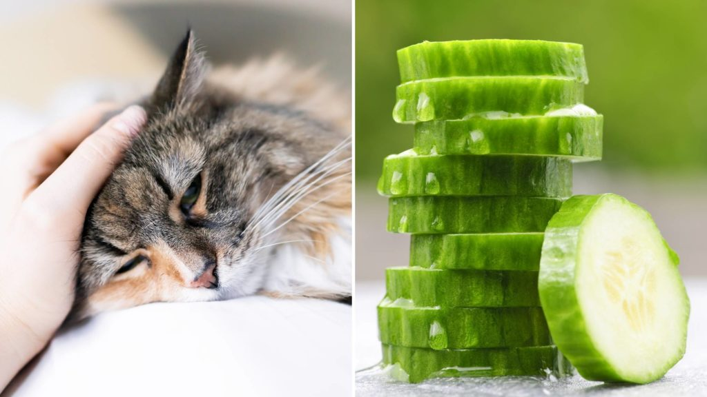 What does a cucumber do to a cat