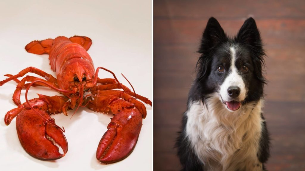 What happens if a dog eats lobster