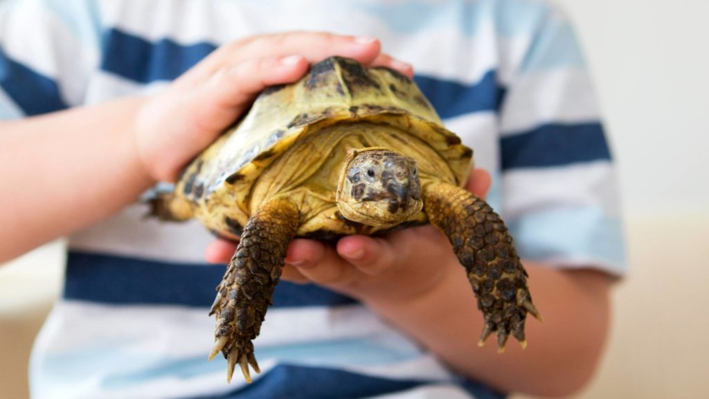 What is the cheapest tortoise to buy