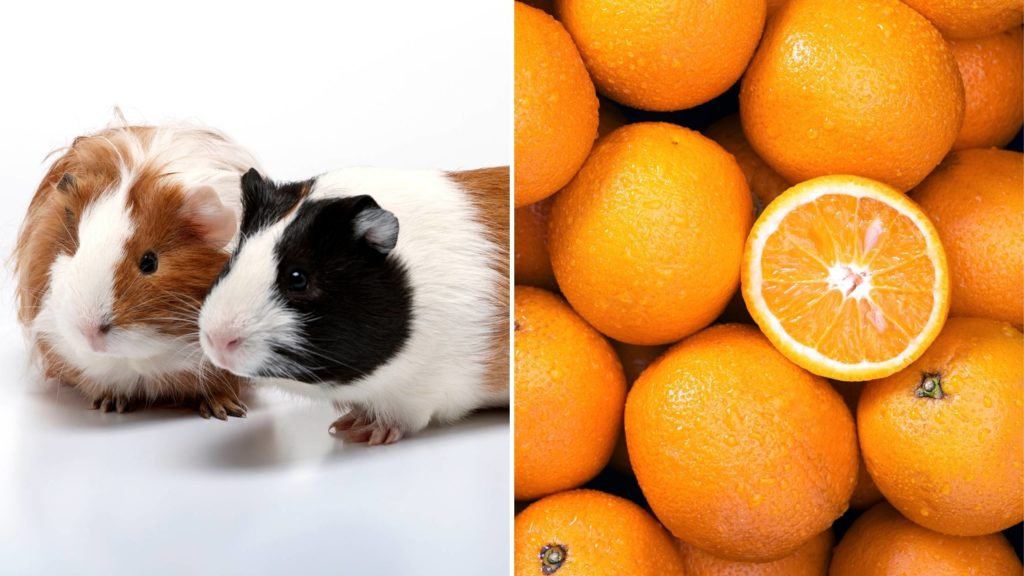 What kind of oranges can guinea pigs eat_