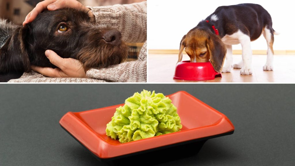 What to do if your dog ate wasabi
