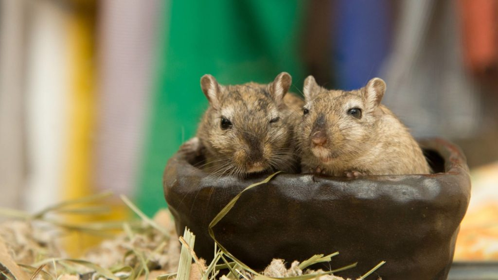 Where are fat-tailed gerbil from