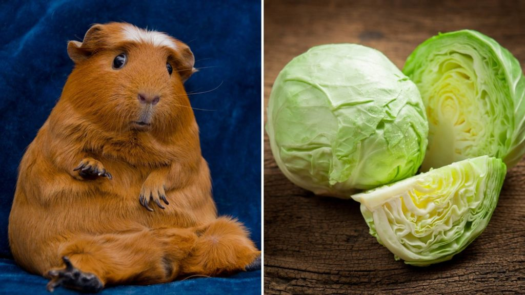 Why can't guinea pigs have cabbage