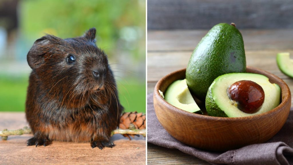 are avocados poisonous for guinea pigs
