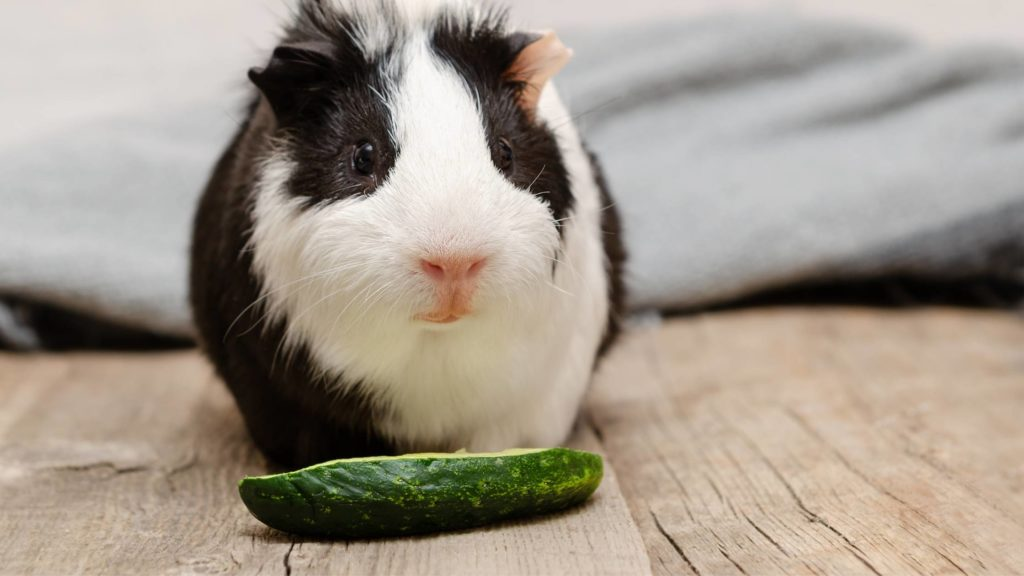 are guinea pigs allowed cucumber