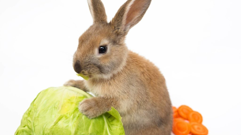 can bunnies eat cabbage