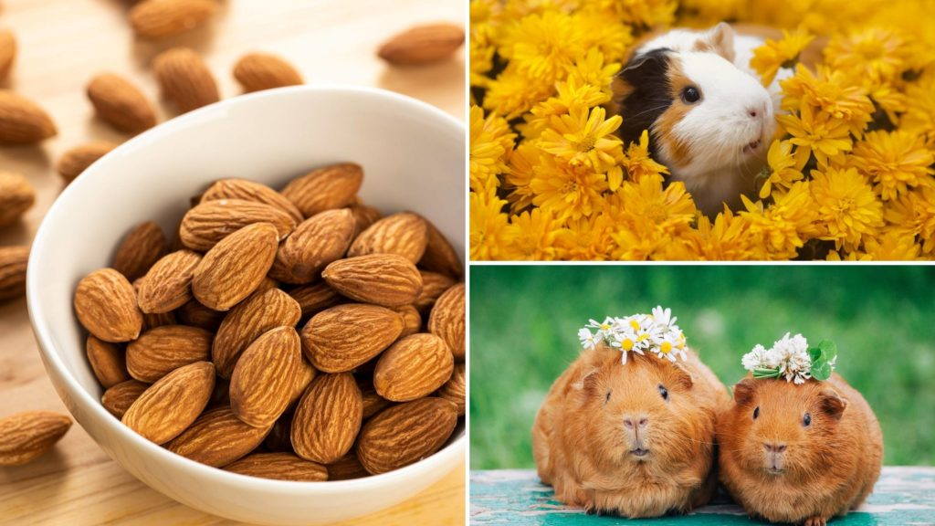 can guinea pigs eat almonds