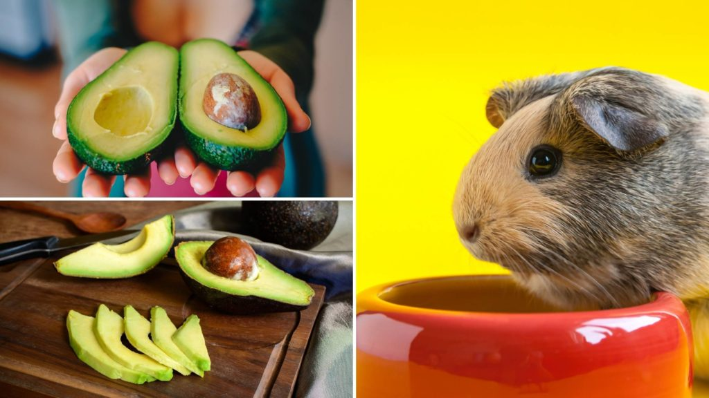 can guinea pigs eat avocados
