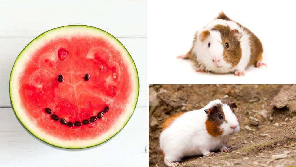 can guinea pigs eat watermelon seeds