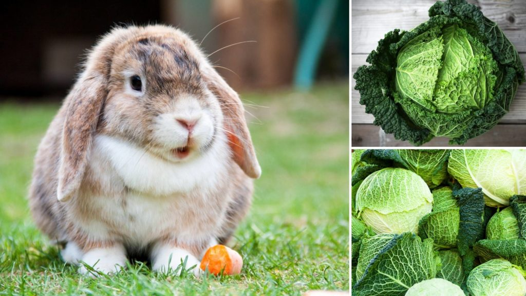 can rabbits eat savoy cabbage
