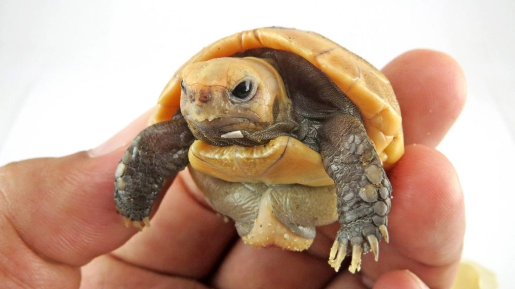 how much does a baby tortoise cost