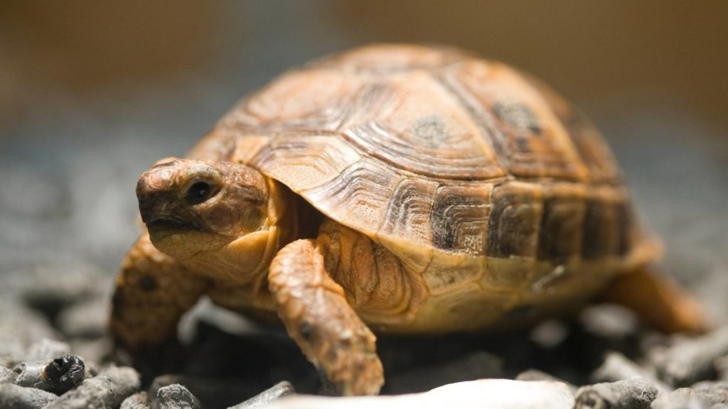 how much does it cost to buy a tortoise
